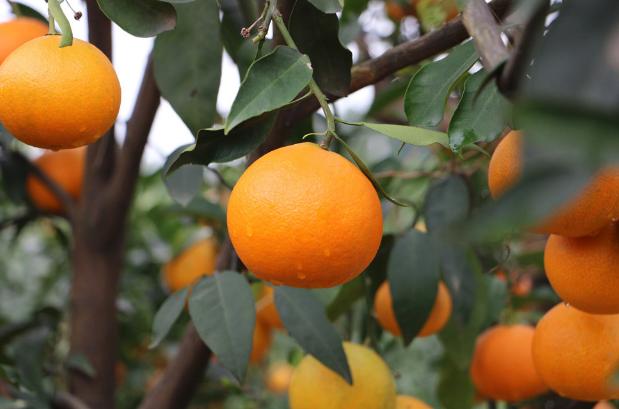 果园产地直发水果货源,招水果加盟代理
