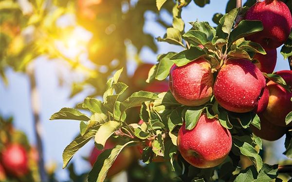 果园现摘水果诚招代理,淘宝、微商一件代发